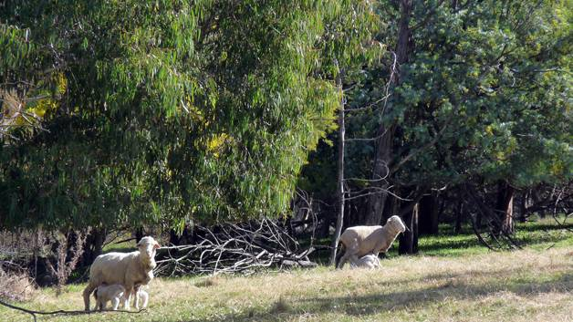Hovell's Creek grazier Trudi Refshauge was impressed with a local Wattle Day talk last month; of particular note was the protection wattle provide for sheep. Here, lambing ewes are shelted by wattle.